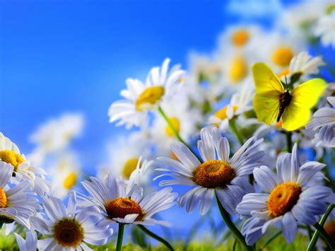 White Daisy Flowers Yellow Butterfly Blue Sky 2560x1600
