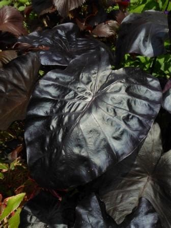 Black Coral Giant Elephant Ears - Perennials - Almost Eden