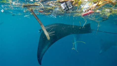 Scientists Estimates Suggest Some Whales May Be Ingesting