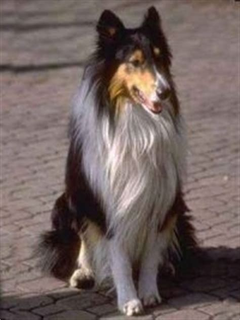 Collie Dog Breed Pictures, 2